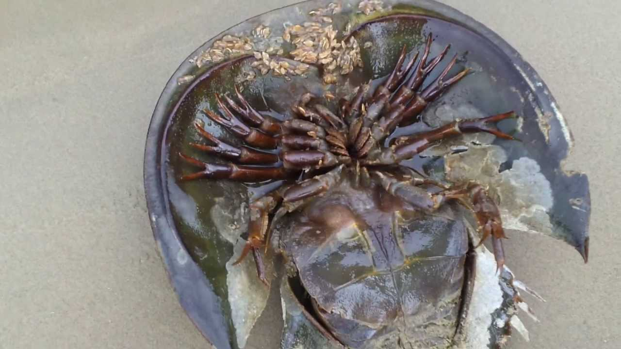 What Is The Largest Dungeness Crabs Ever Caught.html ...