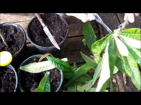 How to Propagate/Clone a loquat tree
