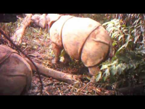 Critically Endangered Javan Rhinos and Calves Captured on Video