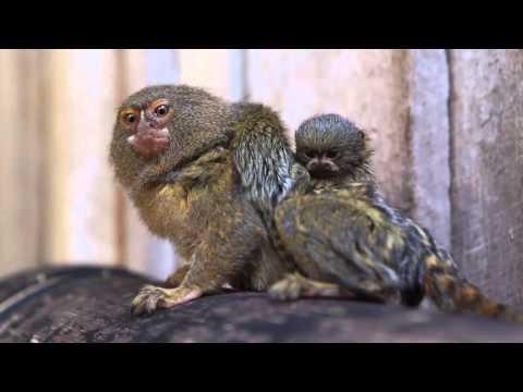 超極小の猿ピグミーマーモセットの赤ちゃんが激カワ