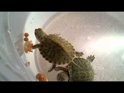 Чем кормить красноухую черепаху, в домашних условиях 92