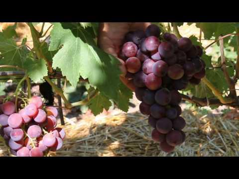 ультра ранние сорта винограда
