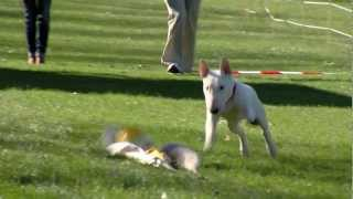 Mini Bull Terrier Bully Run Midland Lelystad WeShootit
