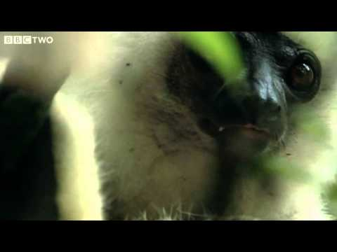 Rare Footage Of Endangered Silky Sifakas - Madagascar, Lost Worlds, Preview - BBC Two