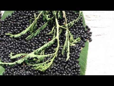 Pankaj Oudhia's Healing Herbs: Diabetes Formulations (Abrus; Himalaya Series)