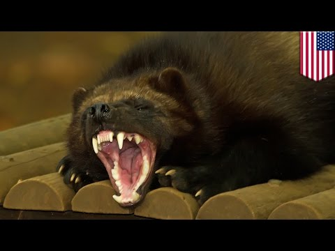 Animal on the loose: Wolverine tranquilized at New Jersey airport after it chews through crate