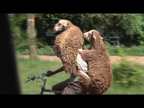 二頭の羊を担ぎ平然と自転車で移動をする男性にビックリ!