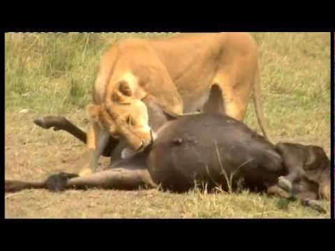 MASAI MARA LIONESS CASTRATES AND EATS WILDEBEEST THEN CALLS HER CUBS FROM THE RIVERBANK.