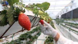 Nuevas Tecnologias para la Producción de Fresa