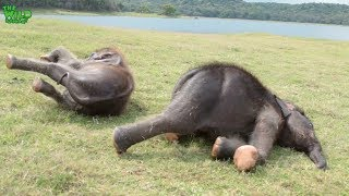 Funday For Elephant Playmates: Two Calves In Their Own Paradise