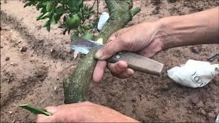 Kỹ Thuật Ghép Chuyển Đổi Giống Bưởi Đơn Giản Hiệu Qua Nhất( #LNLV )   Lão Nông Làm Vườn