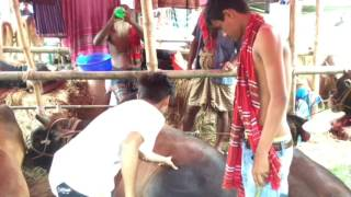 (eid espical) of a GoRu Haat ! funny video