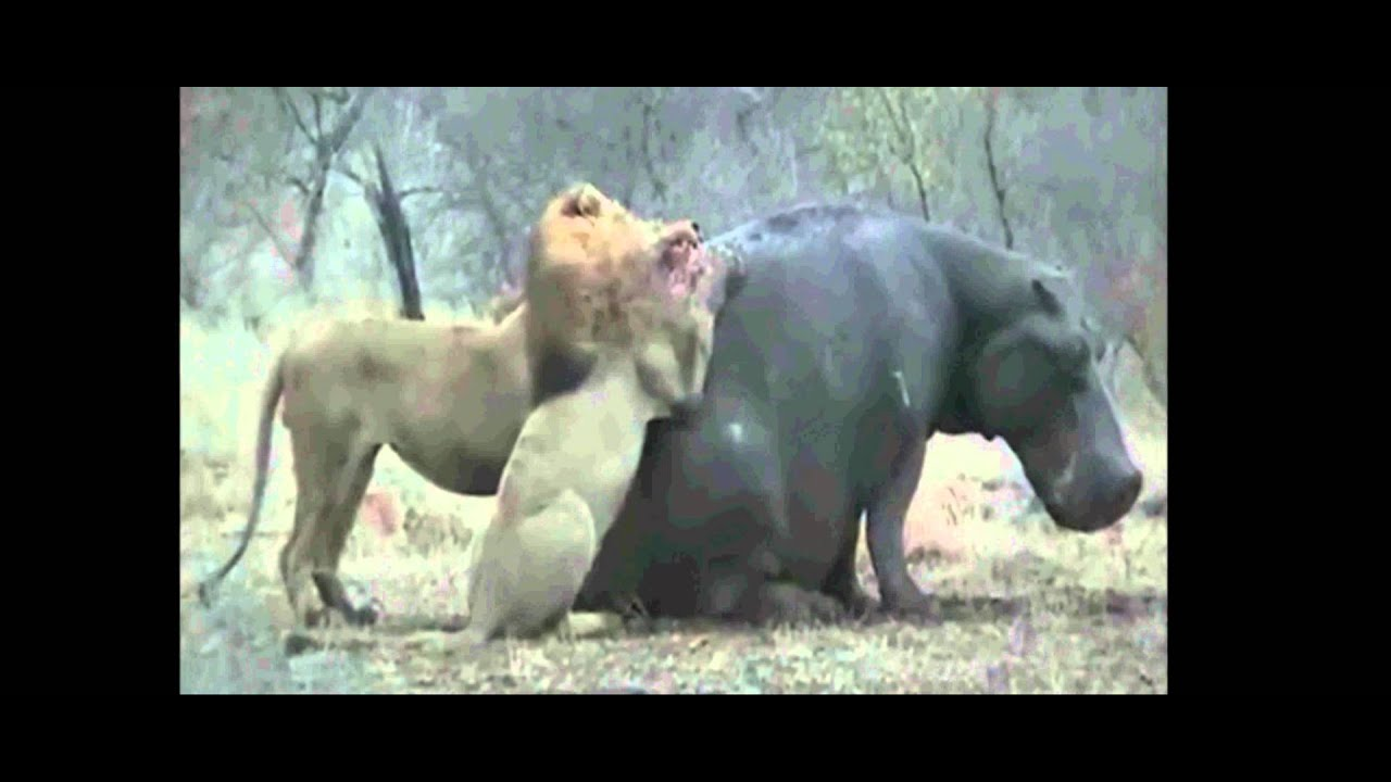 Hippo vs lion