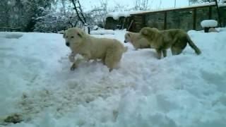 Mastine Abruzzesi sulla neve