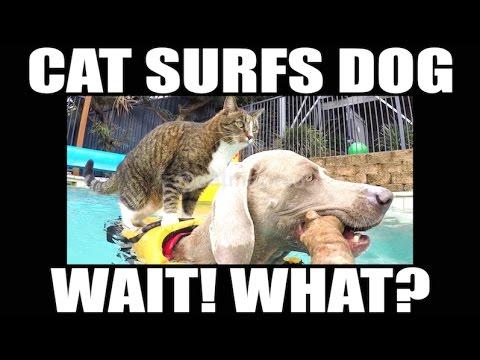 犬に乗ってサーフィン!?神業トリックをみせてくれる天才猫