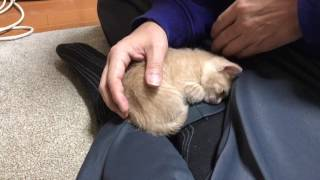 何度も膝の上に戻ってくる子猫に癒される   Comforted by kitten that keeps coming back to sit in my lap.