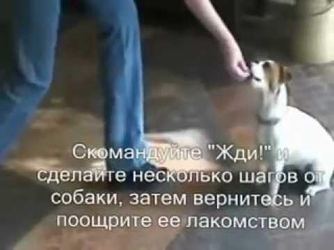 Как дрессировать джек рассела в домашних условиях - Danetti.Ru