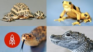 The Very Raddest Reptiles And Amphibians