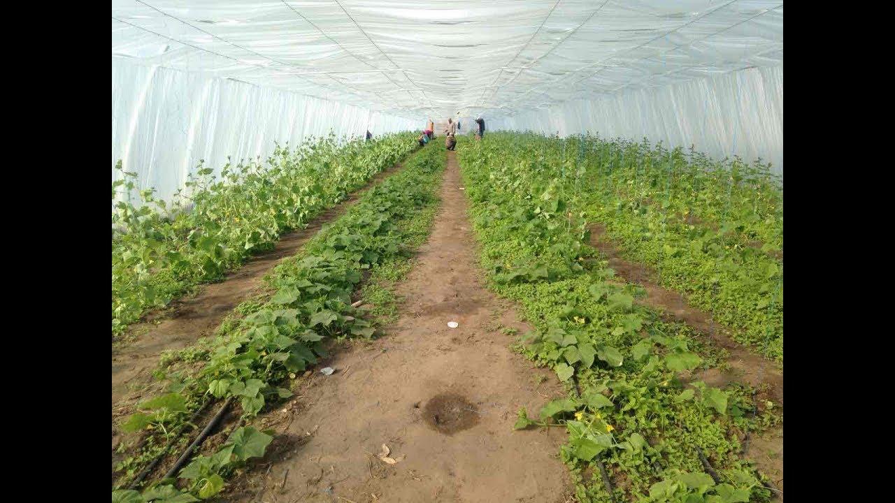 Выращивание овощей в теплицах как бизнес 1