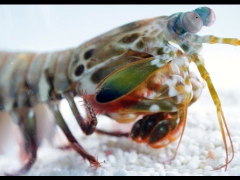 World's Fastest Punch  Slow Motion Mantis Shrimp   Slo Mo  13   Earth Unplugged