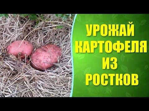 🌱 Результат выращивания картофеля из ростков под соломой. Обновление картофеля ростками.