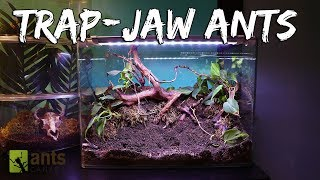 Ant Colony Spotlight: Trap-Jaw Ants (Live Feeding)
