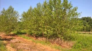 Rápido crecimiento de los árboles de abedul del río