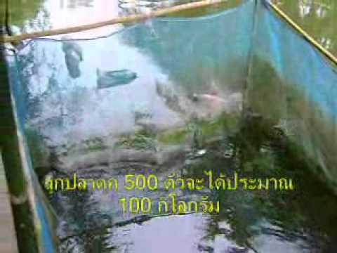 ปลาดุกกระชัง.wmv