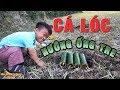 TXT - CÁ LÓC ĐỒNG NƯỚNG ỐNG TRE CỰC NGON - COOKING GRILLED FISH
