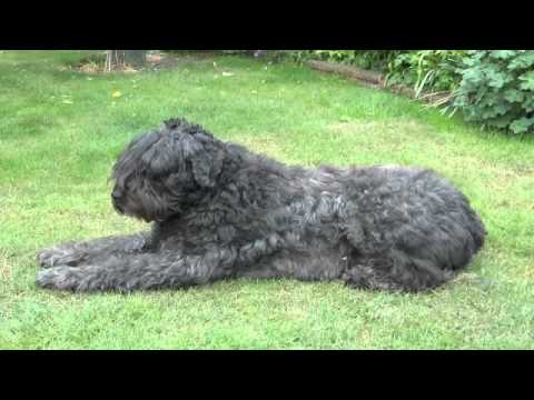 Bouviers Puppies Bouvier Breeders In South Africa Imagejpg | Dog ...