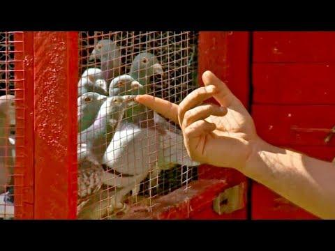 Priče iz golubane (Sarajevski golubari)