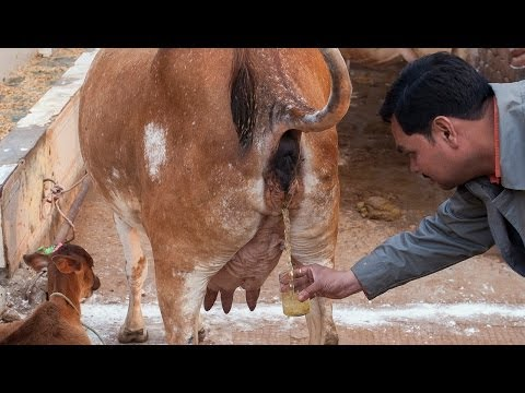 We Drink Cow Urine video