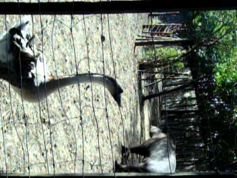 Ganzos y tapires