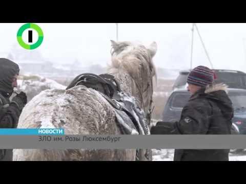 Правдивая история «Розы Люксембург»: хроника голодной гибели брошенных под Омском лошадей