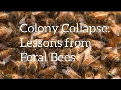 Bees going missing Colony Collapse: Bees Lessons From  Feral Bees Honey bees gone missing