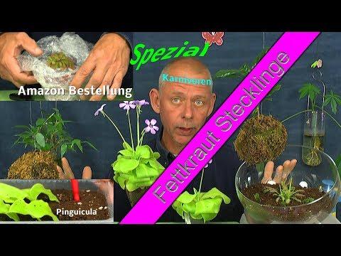 Sonnentau Pflanze im Internet eingekauft und Fettkraut Stecklinge machen