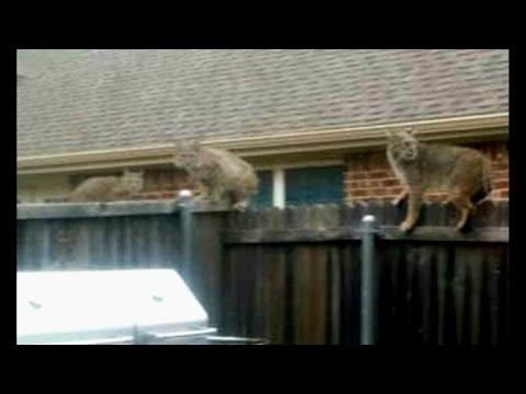 Bobcat jumps into backyard, kills dog