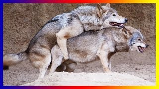 Wild Wolf Life Mating And Giving Birth Sucess