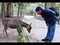 POLITE Bowing Deer of Nara Japan -