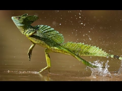 Ancient Lizard walked on Water | Prehistoric News