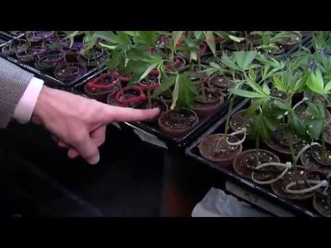 Legalized marijuana What Alaska can learn from Colorado  KTVA Anchorage CBS 11