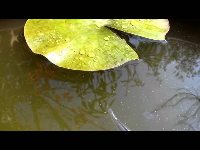 睡蓮鉢のミユキメダカ(青) 2011年6月3日