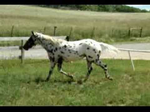Domino All-Around Appaloosa Gelding 4 Sale