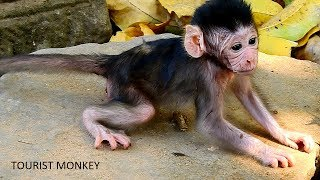 Pity adorable Valentin, Queen left newborn monkey alone, Just born baby monkey can not walk well