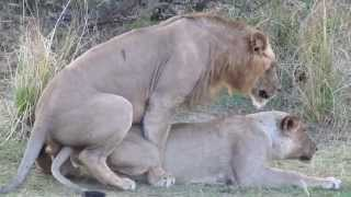 Lion sex, mating and orgasm.  Just like humans.  Needs sound.