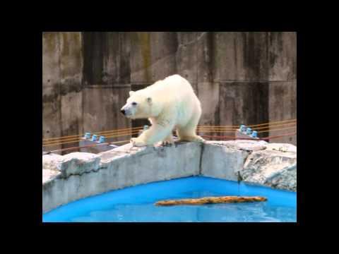 プールのふちを歩けたよ! ホッキョクグマの赤ちゃん 円山動物園
