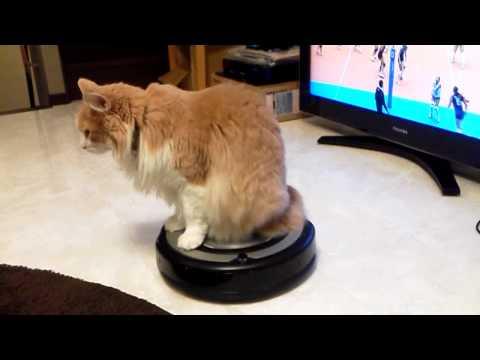 乗り物と勘違い?!ルンバに乗るのが大好きな猫