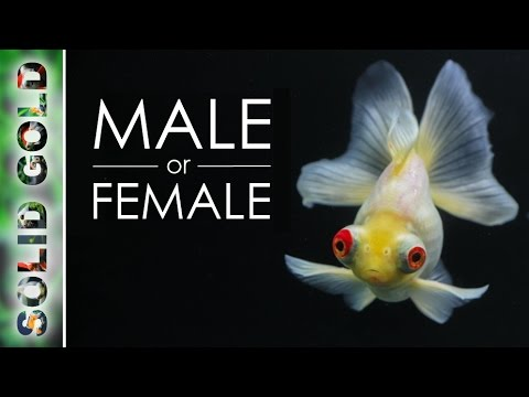 How to Sex a Goldfish - YouTube