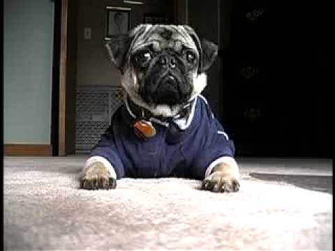 See ALL Max's videos at www.mypugmax.com!!!!