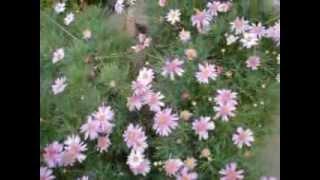 Arbusto de margaritas rosadas